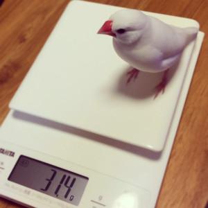 文鳥31グラム