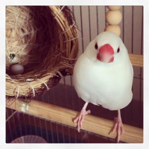 文鳥初産卵