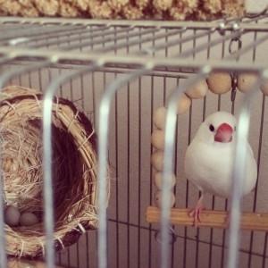 文鳥の産卵